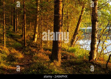 Sonnenlicht in den Bäumen in den finnischen Wäldern - Stockfoto