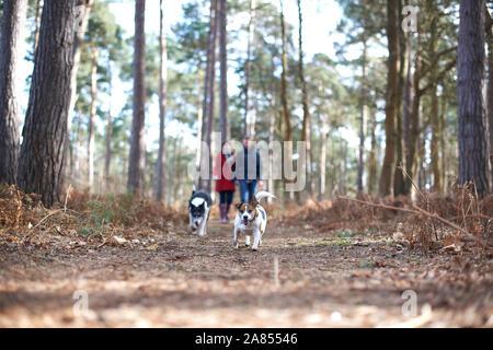Hunde vor paar Wandern im Herbst Woods läuft - Stockfoto