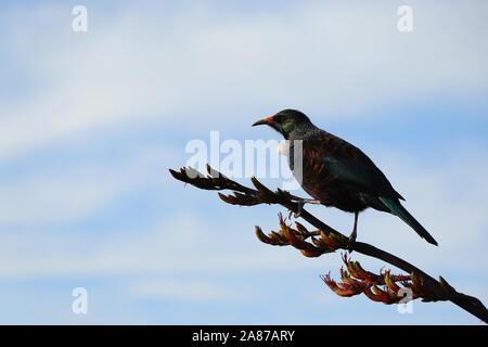 Heimat Neuseeland Tui Vogel sitzt auf einem Ast, Seitenansicht.
