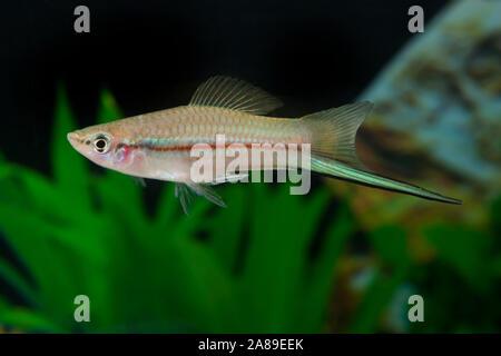 Xiphophorus helleri Grün, Schwertraeger, Swordtail - Stockfoto