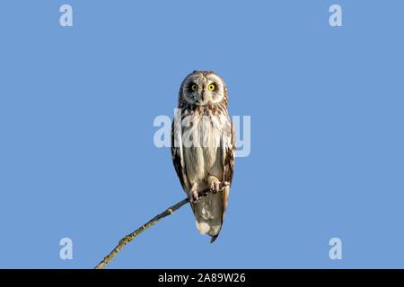 Sumpfohreule (Asio flammeus/Asio accipitrinus) im Baum gehockt - Stockfoto