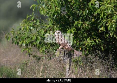 Sumpfohreule (Asio flammeus/Asio accipitrinus) auf zaunpfosten über Feld gehockt - Stockfoto