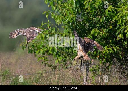 Sumpfohreule (Asio flammeus/Asio accipitrinus) Paar Landung auf zaunpfosten über Feld - Stockfoto