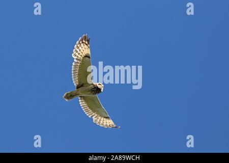 Sumpfohreule (Asio flammeus/Asio accipitrinus) im Flug gegen den blauen Himmel - Stockfoto