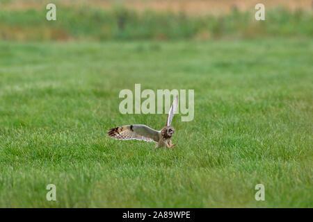 Sumpfohreule (Asio flammeus/Asio accipitrinus) im Flug im Sturzflug nach unten und packte Maus mit Krallen in der Wiese - Stockfoto