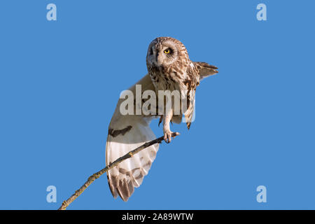 Sumpfohreule (Asio flammeus/Asio accipitrinus) Pflege und Stretching Flügel - Stockfoto