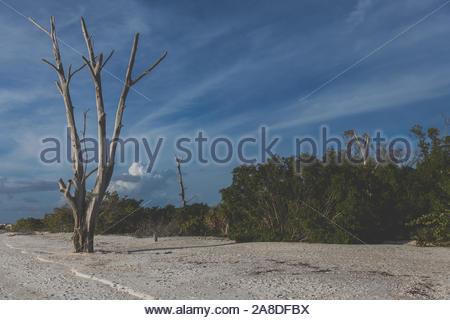 Tote Bäume an Lovers Key State Park in Bonita Springs, Südwestflorida, ein Paradies für die Tierwelt und die Heimat von Westindischen Manatees, Flasche Nase Delphine - Stockfoto