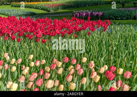 Mehrfarbige Tulpen in einer Feder City Park - Stockfoto