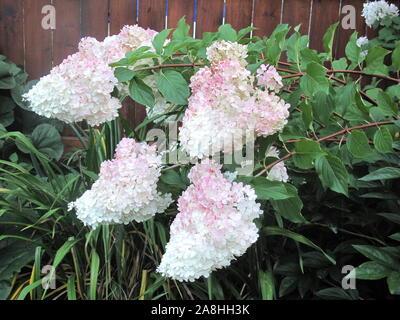 Hydrangea Bush in einem Garten wachsenden - Stockfoto