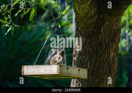 Östlichen Grauhörnchen (Sciurus carolinensis) in einer Plattform Bird Feeder aus einer Eiche, Stuart, Florida, USA hängenden Sitzen - Stockfoto