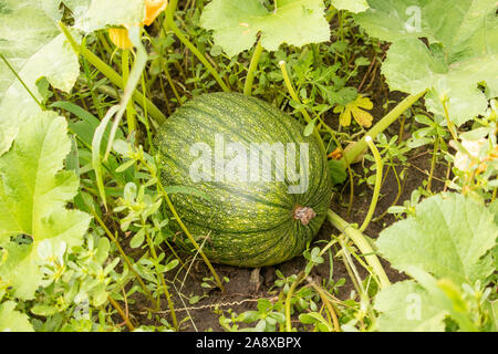 Bunte Kürbisse in den Pumpkin Patch. - Stockfoto