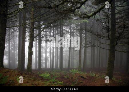 Kiefernwald in der Dämmerung mit Nebel. Die Insel Madeira 2019. - Stockfoto