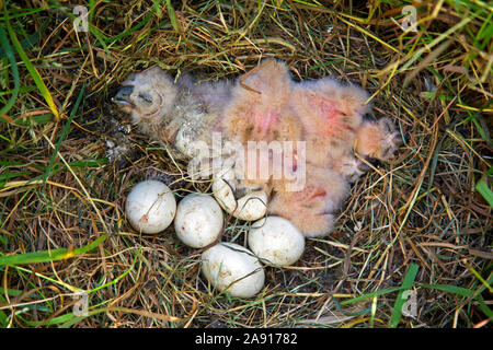 Sumpfohreule (Asio flammeus/Asio accipitrinus) Küken und Kupplung der Eier im Nest auf dem Boden im Grünland - Stockfoto