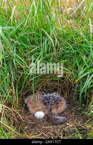 Sumpfohreule (Asio flammeus/Asio accipitrinus) ei und zwei Küken im Nest auf dem Boden im Grünland mit Toten vole Beute als Lebensmittel - Stockfoto