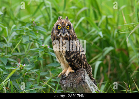 Sumpfohreule (Asio flammeus/Asio accipitrinus) juvenile thront auf zaunpfosten über Feld - Stockfoto