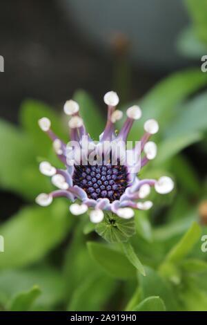 Osteospermum - Stockfoto
