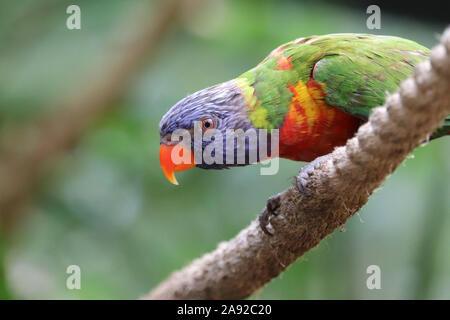 Rainbow Lorikeet (trichoglossus Moluccanus)