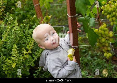Kleines Mädchen isst, Birne und steht Traube Bush im Weinberg. Fütterung Kinder mit natürlichen Produkten. Beeren für Babynahrung. - Stockfoto