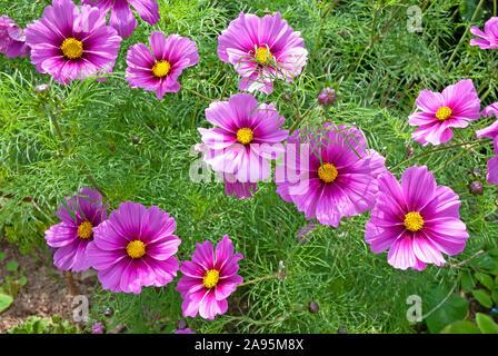 Dunkel rosa/lila Kosmos Sensation (Cosmos Bipinnatus) Blumen in einem Garten - Cornwall Cornwall, Großbritannien - Stockfoto
