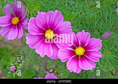 Dunkel rosa/lila Kosmos Sensation (Cosmos Bipinnatus) Blumen in einem Garten - Cornwall Cornwall, Umited Königreich - Stockfoto