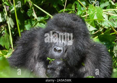 Portrait einer weiblichen Mountain Gorilla in das Grün der Volcanoes National Park - Stockfoto