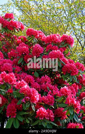 Blühende Hortensien im Garten der Vier Jahreszeiten, Losheim am See, Saarland, Deutschland - Stockfoto