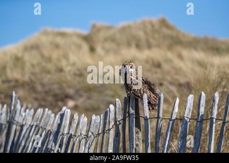 Sumpfohreule (Asio Flammeus) unverlierbaren, Holy Island, Northumberland, Großbritannien - Stockfoto