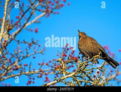 Weibliche gemeinsame Amsel (Turdus merula) auf Mountain Ash Tree (Rowan) mit vielen roten Beeren gehockt, singen mit offenem Schnabel.. - Stockfoto