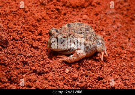 Grabende Frosch, Sphaerotheca sp, Pune, Maharashtra, Indien - Stockfoto