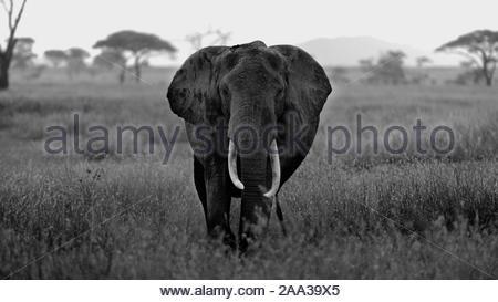 Schwarz-weiß-Porträt des Großen Afrikanischen Elefanten. Head shot mit Ohr Gesicht und großen stoßzähnen - Stockfoto