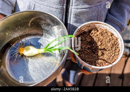 Nahaufnahme der Person, grüne Zwiebeln Keimen mit kleinen Wurzeln aus Edelstahl Schüssel mit Wasser im Garten anpflanzen In kleine Boden Container - Stockfoto