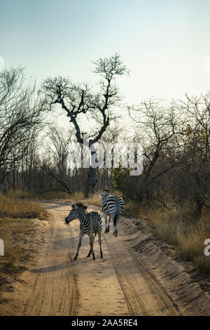 Wild Zebras im Krüger Nationalpark in Mpumalanga in Südafrika Stockfoto