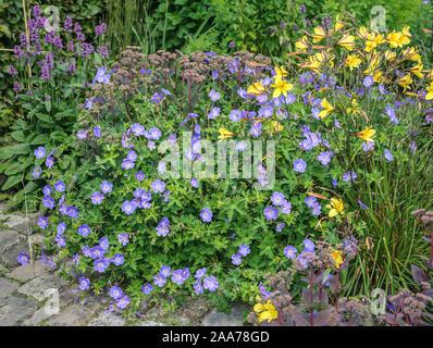 Storchschnabel (Geranium ROZANNE) - Stockfoto