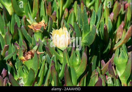 Carpobrotus Iceplant (sp.) Sukkulenten wachsen auf Sand oben tideline, Point Reyes National Seashore, Kalifornien, USA (Iceplant ist eine invasive n - Stockfoto