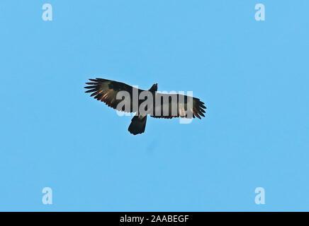 Gurney Eagle (Aquila Gurneyi) Erwachsene im Flug Varirata National Park, Papua-Neuguinea Juni - Stockfoto