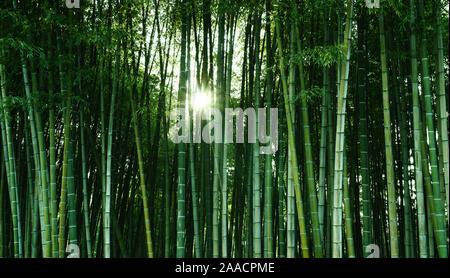 Bambus Wald im Sonnenlicht. Natürlichen ökologischen Material. Wellness Banner, Bildschirmschoner, wallpaper