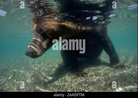 Braunbär (Ursus arctos) von Unterwasser, Angeln für sockeye Lachse, Kuril Ozernaya Fluss, See, südlich Kamtschatka Heiligtum, Russland, August - Stockfoto