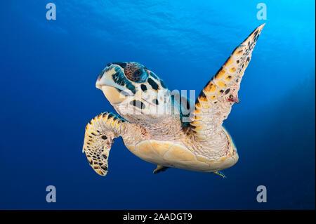 Karettschildkröte (Eretmochelys imbricata) Fahrt entlang der Drop-off von einem Korallenriff. Bloody Bay, Little Cayman, Cayman Inseln. British West Indies. Karibische Meer. Beachten Sie, dass diese Schildkröte hat zwei Kennzeichnungen in seinem vorderen Flossen. - Stockfoto