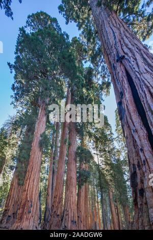 Der Senat Gruppe riesiger mammutbaum (sequoiadendron giganteum) Bäume auf dem Congress Trail im Sequoia National Park, Kalifornien, USA