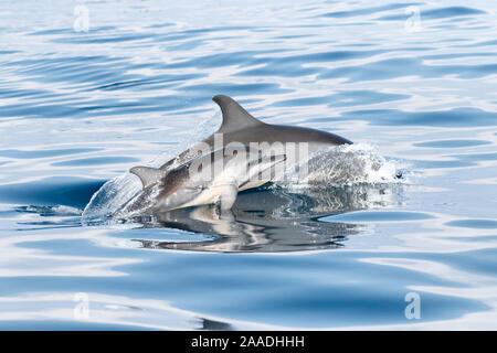 Spinner Delfin (Stenella longirostris) juvenile surfacing Neben seiner Mutter, Sri Lanka. - Stockfoto