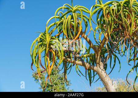 Tropische Bäume im Garten. Aloe barberae, oder Baum Aloe, sukkulente Pflanze, langsam wachsenden Baum, heimisch in Südafrika