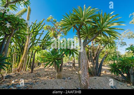 Tropische Bäume im Garten. Madagaskar Palm, blühende Pflanze, ein Mitglied der Sukkulenten und Kakteen Familie