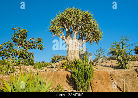 Tropischer Garten Bäume. König Köcherbäume, oder Aloe pillansii, eine der seltensten Pflanzen der Welt
