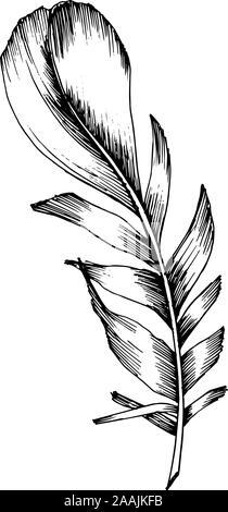 Vektor Vogelfeder von Wing isoliert. Schwarz und weiß eingraviert Tinte Art isoliert Federn Abbildung Element. - Stockfoto