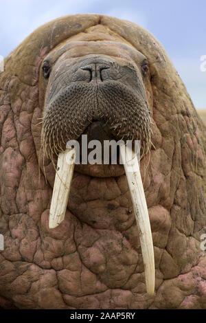 Walross Bulle | Walross Männlich - Stockfoto