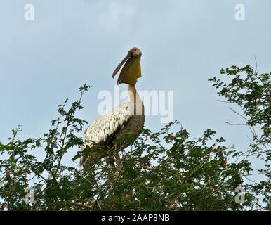 Der große weiße Pelikan haben in Bäumen für Sicherheit von Raubtieren auf Roost, wenn Sie in Katavi für ihre wenigen Wochen intensiver Fütterung in der shri ankommen - Stockfoto