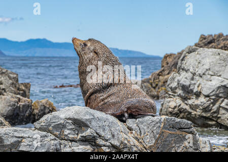 Herr der Seehundkolonie Red Rocks - Stockfoto