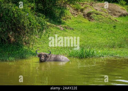 Afrikanische Büffel, Syncerus caffer, schwelgt in Wasser in der Kazinga Kanal von Lake Edward im Queen Elizabeth National Park, Uganda - Stockfoto