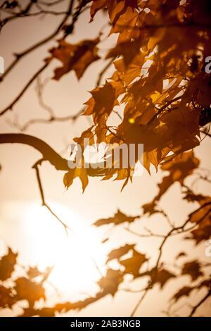 Blätter im Herbst. Hintergrundbeleuchtung Herbstliche Blätter mit einem niedrigen Abenddämmerung Sonne am Ende des Tages zurück. Stockfoto