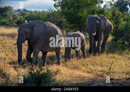 Afrikanischer Elefant (Loxodonta africana) Familie der Elefanten Mala Mala Game Reserve Sabi Sand Park Kruger Südafrika, Afrika - Stockfoto